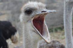 Pássaros de Califórnia Fotografia de Stock