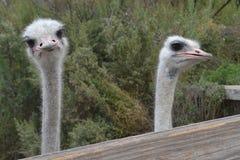 Pássaros de Califórnia Fotos de Stock Royalty Free