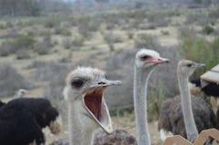 Pássaros de Califórnia Imagens de Stock Royalty Free