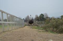 Pássaros de Califórnia Fotos de Stock