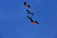 Pássaros de fragata masculinos do voo durante a estação de acoplamento Fotos de Stock Royalty Free