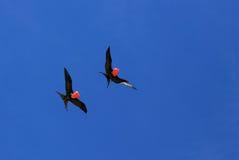 Pássaros de fragata masculinos do voo durante a estação de acoplamento Fotografia de Stock