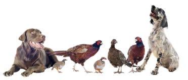 Pássaros de jogo e cães de caça imagem de stock