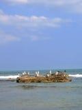 Pássaros de mar Fotografia de Stock