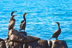 Pássaros de mar Fotos de Stock Royalty Free
