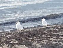 Pássaros de mar Imagem de Stock