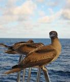 Pássaros de mar nos trilhos do iate Foto de Stock