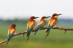 Pássaros de paraíso coloridos rebanho Fotos de Stock