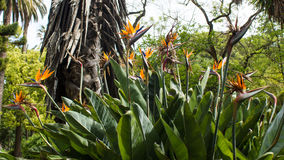 Pássaros de paraíso, reginae do Strelitzia, botânicos Fotos de Stock Royalty Free