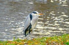 Pássaros de parques e de lagos de Londres foto de stock royalty free