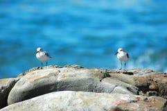 Pássaros de peito branco da tarambola Fotografia de Stock Royalty Free