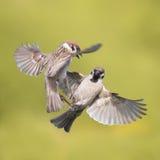 Pássaros de um voo do pardal no ar avante para espalhar suas asas imagens de stock