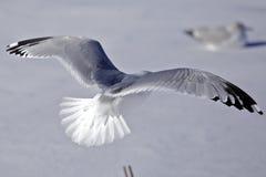 Pássaros de vôo Fotografia de Stock