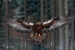 Pássaros de voo de rapina fotos de stock