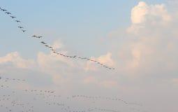 Pássaros de voo dentro no céu nebuloso Fotografia de Stock Royalty Free