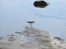 Pássaros de Willet do bebê na praia em Costa Rica imagens de stock