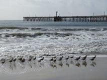 Pássaros de Willet e cais ao norte de Santa Barbara, Califórnia fotos de stock