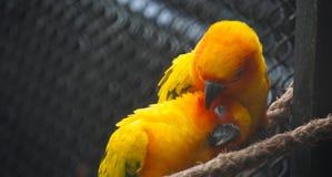 Pássaros do afago Fotos de Stock