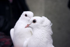 Pássaros do amor foto de stock