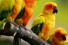 Pássaros do amor de Sun Conure Imagem de Stock