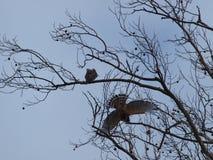 Pássaros do amor de um tipo vermelho do ombro Fotos de Stock