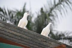 Pássaros do amor e uma árvore Imagem de Stock