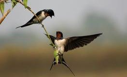 Pássaros do amor e uma árvore Imagens de Stock