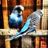 Pássaros do amor e uma árvore Imagens de Stock Royalty Free