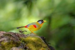 Pássaros do arco-íris Imagens de Stock