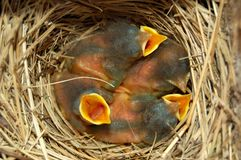 Pássaros do azul de bebê fotos de stock royalty free