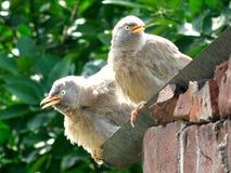 Pássaros do bico Fotografia de Stock