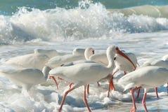 Pássaros do branco de Florida Foto de Stock