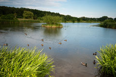 Pássaros do congresso na terra litoral da família do pato. Imagem de Stock Royalty Free