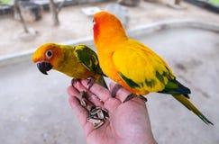 Pássaros do conure de Sun que comem a semente da melancia na mão asiática do homem amarelo Fotos de Stock Royalty Free