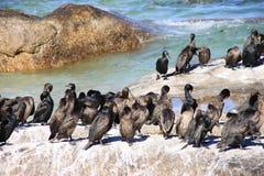 Pássaros do cormorão na praia dos pedregulhos Foto de Stock