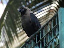 Pássaros do corvo!!! fotos de stock