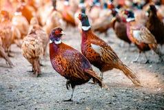 Pássaros do faisão na terra Imagem de Stock