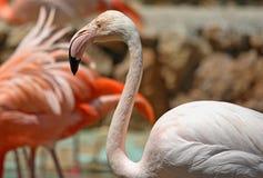 Pássaros do flamingo Fotografia de Stock