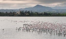 Pássaros do flamingo no lago de sal de Larnaca Fotografia de Stock Royalty Free