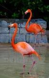 Pássaros do flamingo (Phoenicopterus) Imagens de Stock Royalty Free