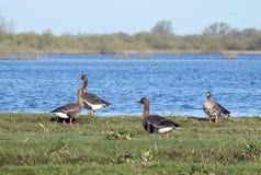 Pássaros do ganso no campo de inundação, Lituânia foto de stock royalty free