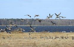 Pássaros do ganso no campo de inundação, Lituânia fotografia de stock