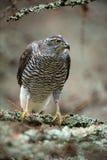 Pássaros do Goshawk da rapina que sentam-se no ramo na floresta Imagens de Stock Royalty Free