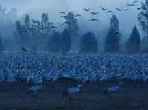 Pássaros do guindaste Fotografia de Stock