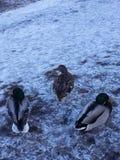 Pássaros do inverno Fotografia de Stock