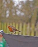 Pássaros do jardim, pisco de peito vermelho Fotos de Stock