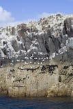 Pássaros do mar em penhascos rochosos Imagens de Stock Royalty Free