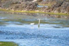 Pássaros do pântano em Puerto real, Cadiz, Espanha Fotografia de Stock Royalty Free