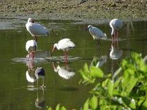 pássaros do pântano nos marismas imagens de stock