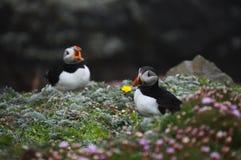 Pássaros do papagaio-do-mar em ilhas de Shetland imagens de stock